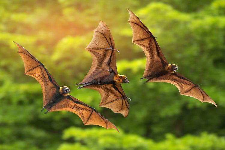 Kelelawar Membawa Banyak Virus Corona, Mengapa Tidak Ikut Sakit?
