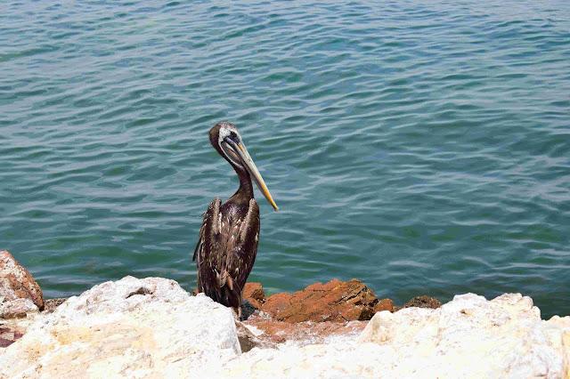 pelicano preto e branco