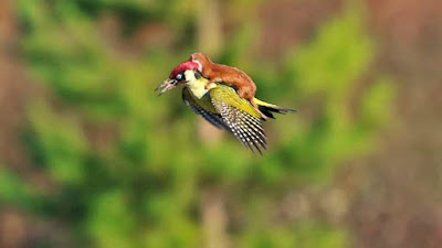 Weasel-can-ride-on-a-Woodpecker