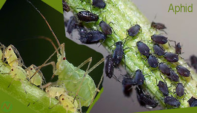 aphid, aphid insect