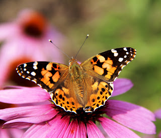 Photo of a Monarch butterfly on a pink flower
