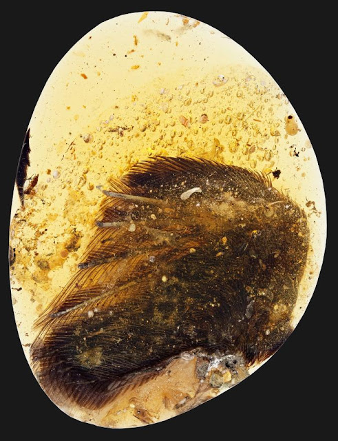 Early bird wings preserved in Burmese amber