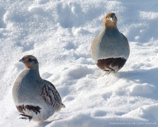 Gray Partridges, touring the neighbourhood. photo © Shelley Banks, all rights reserved.