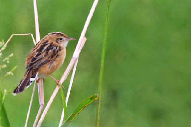 birds, Cisticola juncidis, Okinawa, Streaked Fantail Warbler