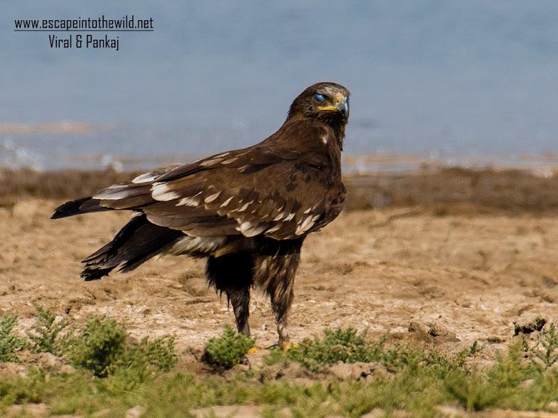 Greater Spotted Eagle (Clanga clanga) Juvenile