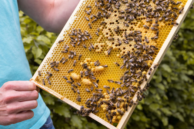A review of Beekeeping for Beginners: How to Raise Your First Bee Colonies, by Amber Bradshaw.