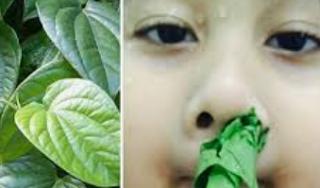 manfaat daun sirih untuk mimisan
