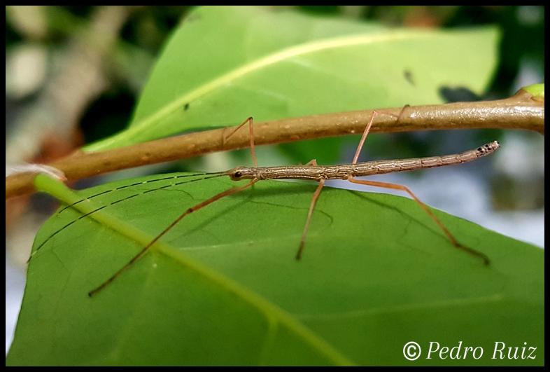 "Ninfa macho L2 de Lamachodes sp. ""Nui Chua"", 2,5 cm de longitud"