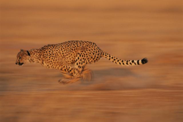 Cheetah Kucing Tercepat Di Dunia