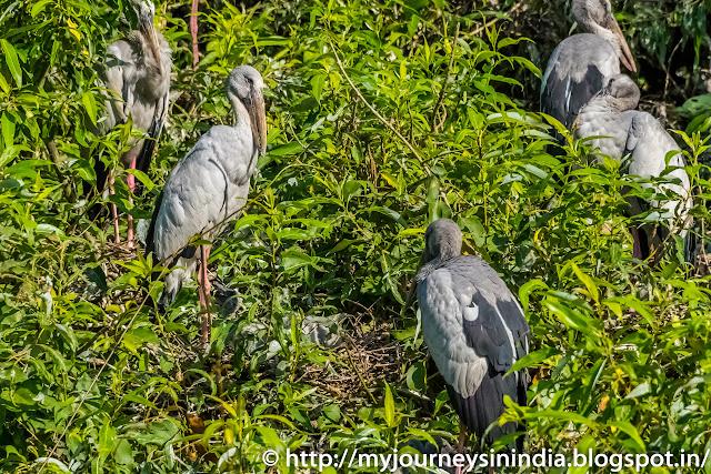 Ranganathittu Birds Open Billed Storks
