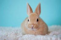 ternak kelinci pedaging, tips ternak kelinci, ternak kelinci modern, ternak kelinci, kelinci, cara ternak kelinci modern