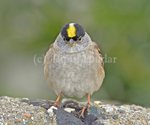 Golden Crowned Sparrow puffed up in cold wind