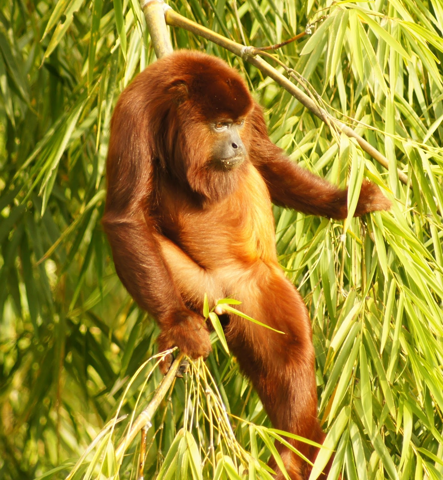 Picture of a howler monkey.