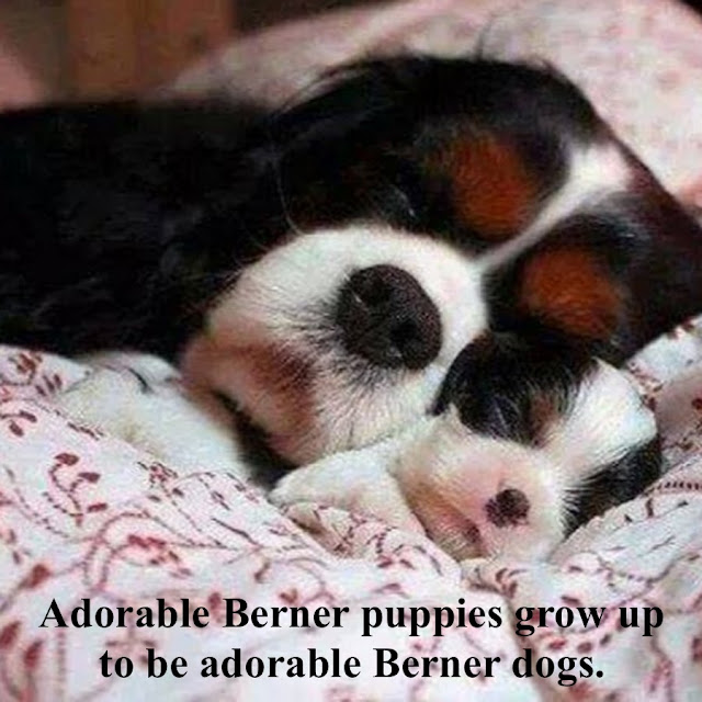1 Adorable Berner puppies grow up to be adorable Berner dogs. Biped versus Quadruped