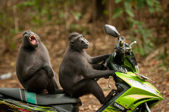 "Highly Commended Wildlife Comedy Photo Competition by Katy Leveck-Foster dengan judul ""Monkey Escape"""