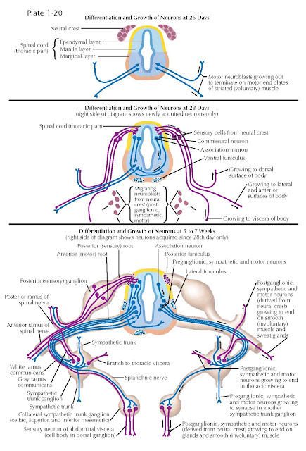 CIRCUIT FORMATION IN THE SPINAL CORD