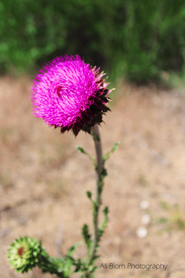 Soft puffy purple thistle flower