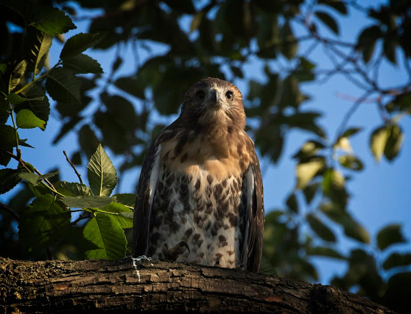 Tompkins Square red-tail fledgling 22