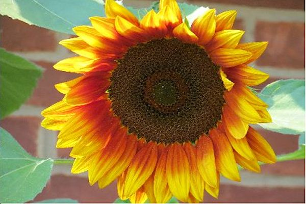 Sunflower Photo by @NEGardening