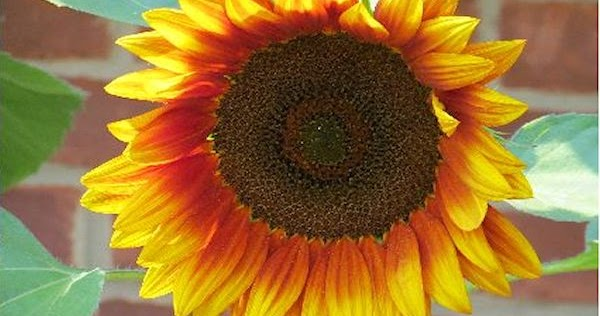 a guide to northeastern gardening the history and meaning of sunflowers. Black Bedroom Furniture Sets. Home Design Ideas