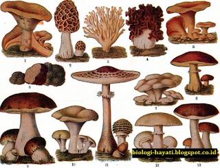 Mengidentifikasi Pengertian, Struktur, Ciri-Ciri dan Macam-Macam Jenis Jamur (Fungi/Cendawan) dan Khamir