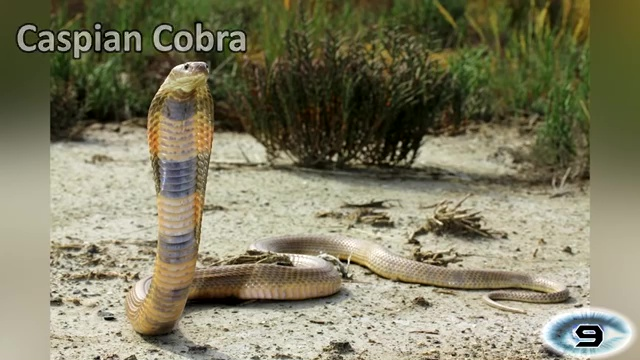 The Caspian Cobra, most venomous snake, most poisonous snake, top ten venomous snake, top ten poisonous snake