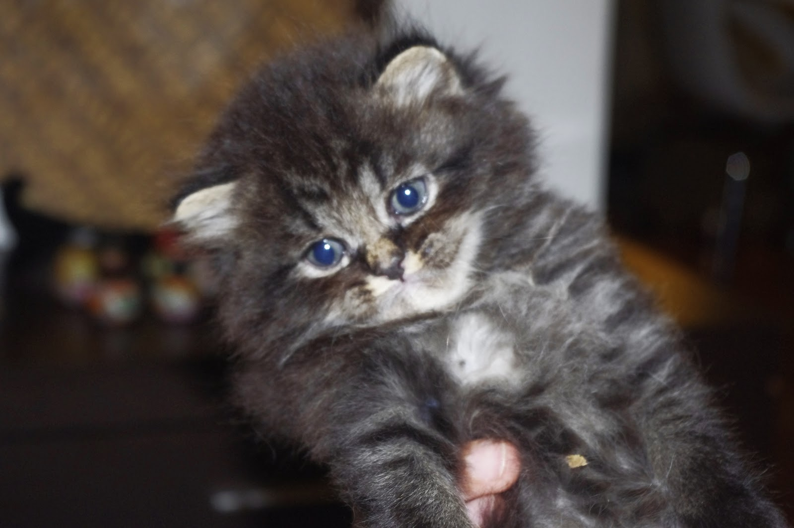 Persian Cat for Sale | Pet Gallery