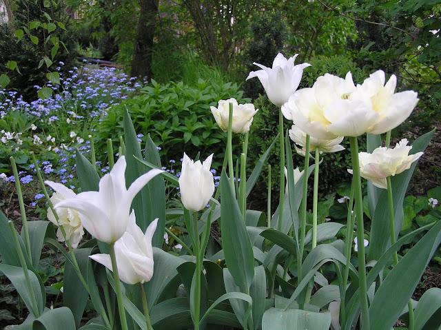 białe tulipany, wiosenne kwiaty