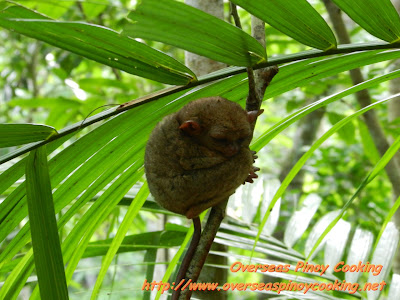 Tarsier at Conservation Park