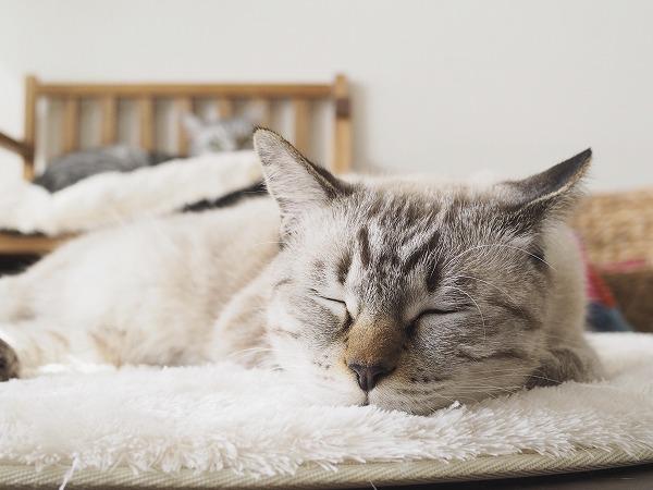 ラグの上で昼寝をしているシャムトラ猫