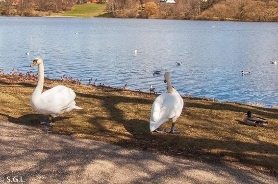 Fotografia de los Cisnes del estanque de Frederiksborg