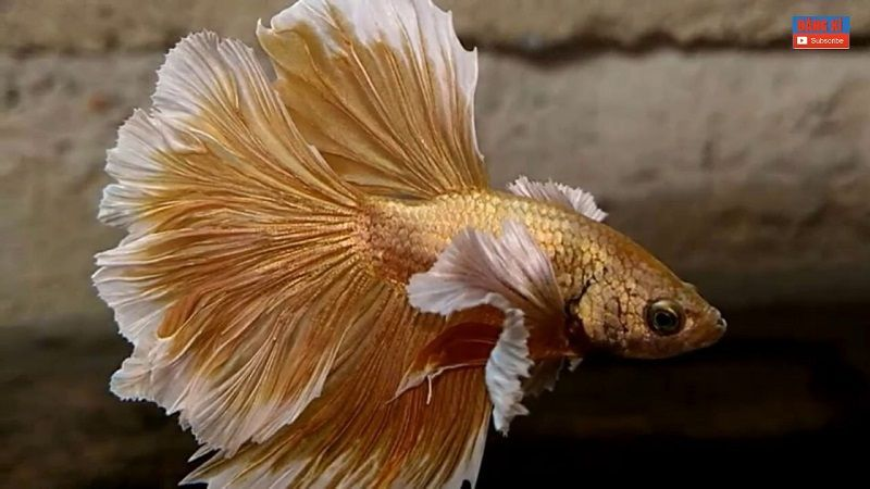 Halfmoon Gold Betta Fish Image