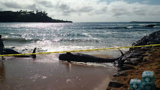 Kauai pilot whale strandings punctuated by seven separate stranding incidents in a week down under