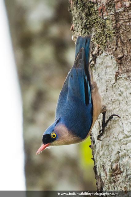 velvet-fronted nuthatch, Sitta frontalis, bird, small passerine bird, Sittidae, nuthatch family Sittidae, Passeriformes,