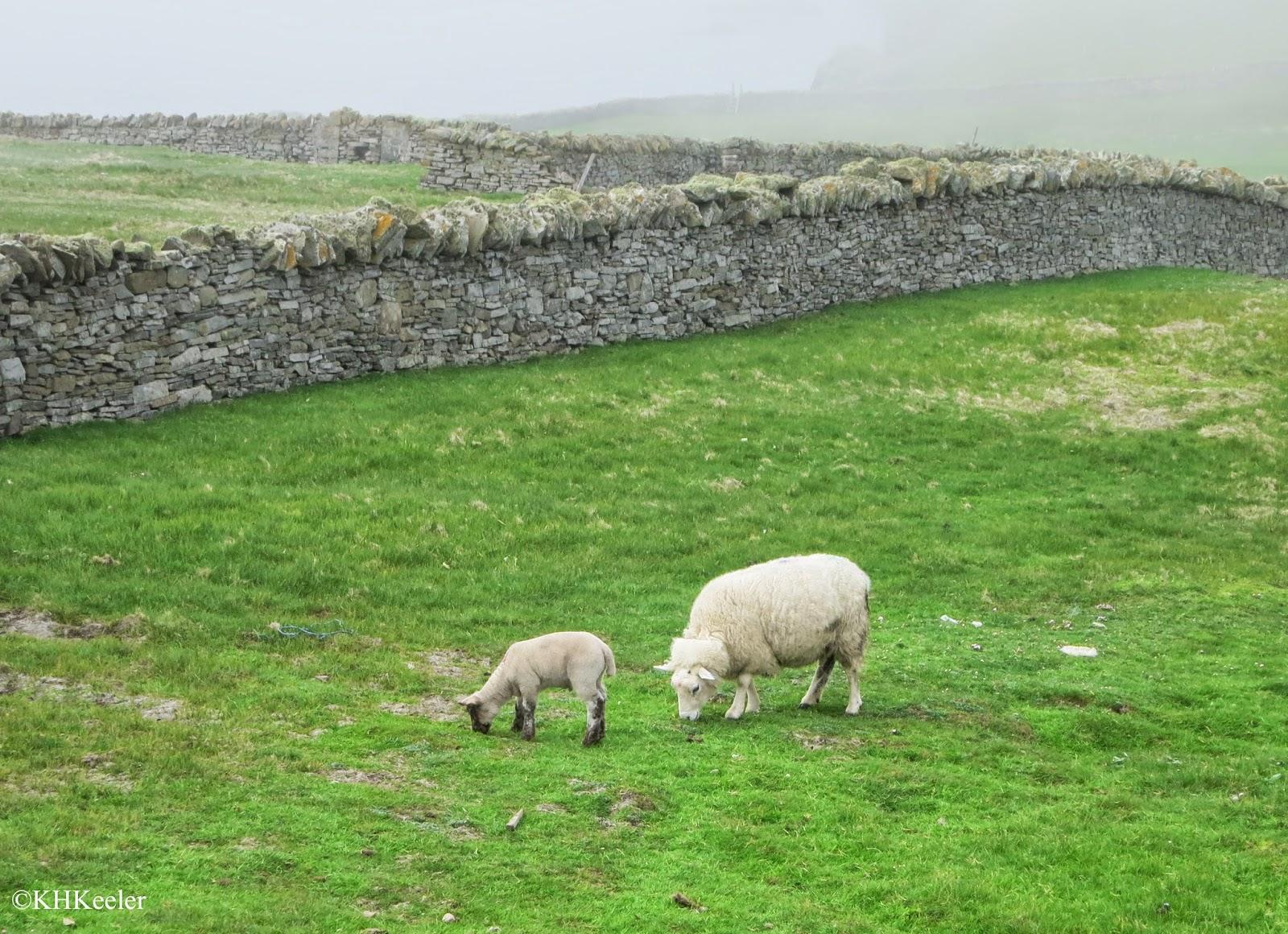 sheep on Shetland
