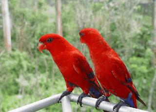 Lovebird Biola Merah