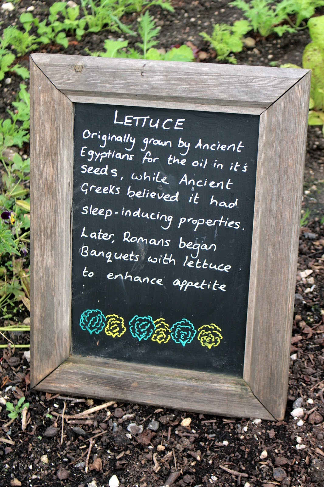 Interesting history of facts about lettuce