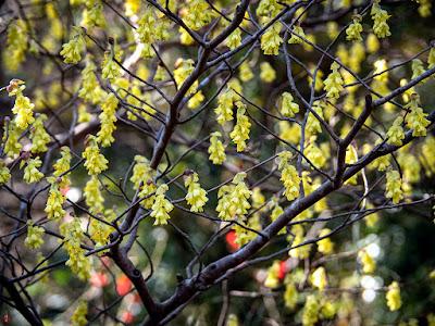 Tosa-mizuki (Corylopsis spicata Corylopsis) flowers: Engaku-ji