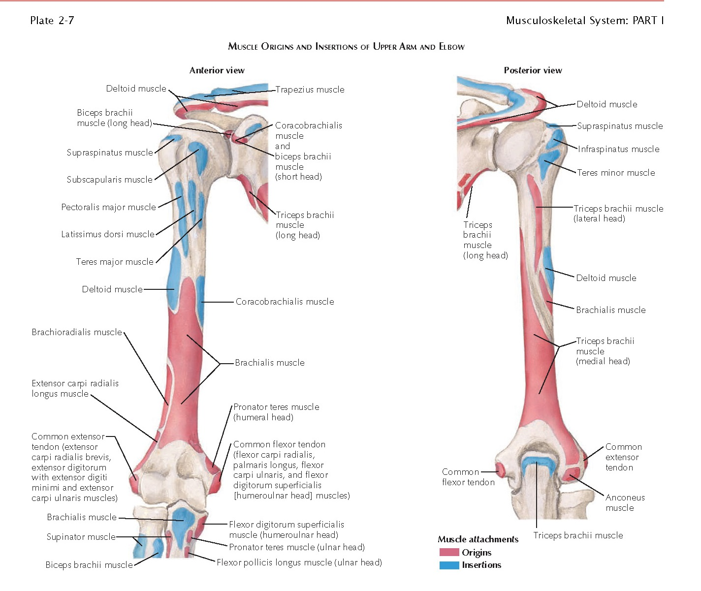 MUSCLES OF UPPER ARM AND ELBOW, Brachial Fascia, Muscles, Coracobrachialis Muscle, Biceps Brachii Muscle, Brachialis Muscle, Triceps Brachii Muscle, Anconeus Muscle, Muscle Actions