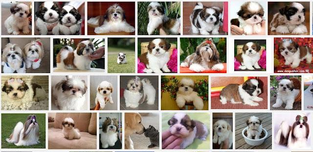 Fotos de filhote de shih tzu