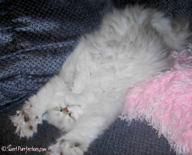 Brulee, a silver shaded Persian kitten, sleeping on her back with front paws in the air
