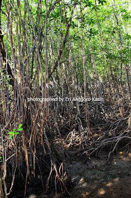 Pohon Bakau di Wisata Hutan Payau Cilacap.