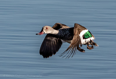 Cape teal duck in flight over the Diep River, Woodbridge Island