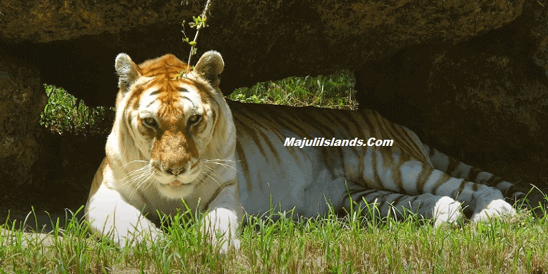 Golden Tiger spotted in Kaziranga National Park, Assam