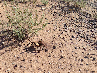 tarantula, deming new mexico