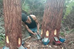 Harga Getah Pinus Sumatera