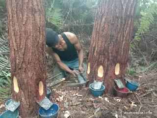 Harga Getah Pinus Yang Semakin Meroket,Tunjang Ekonomi Masyarakat Rahutbosi