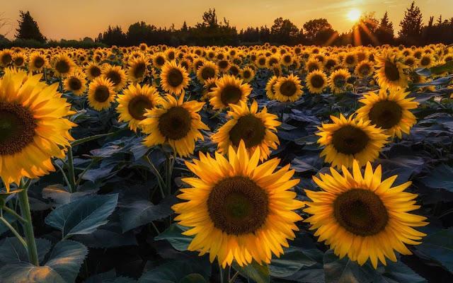 desktop sunflower wallpaper