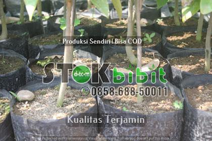 Bibit Jabon Bersertifikat | Benih Jabon Bersertifikat    terjamin
