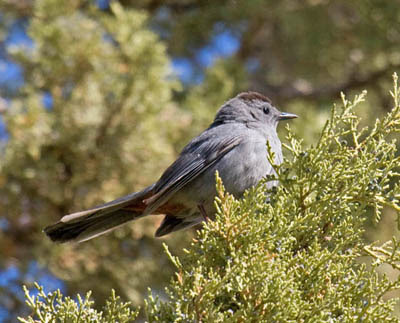 Photo of Gray Catbird in juniper